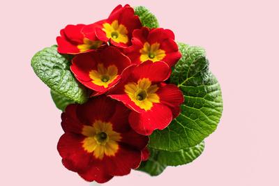 Liebliche Frühlingsbotin