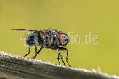 Blaue Schmeißfliege-3