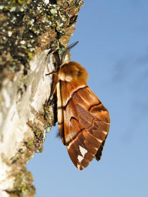 Birkenspanner (Endromis versicolora), Männchen in der Sonne