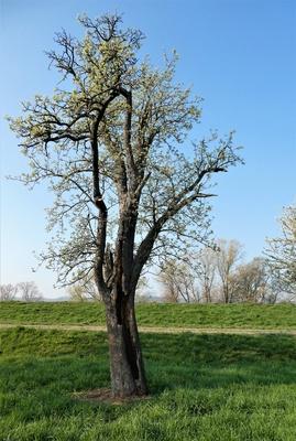 Der alte Birnbaum