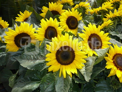 Lauter  Sonnenblumen