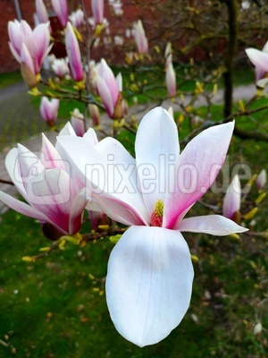 Schöne Magnolienblüte
