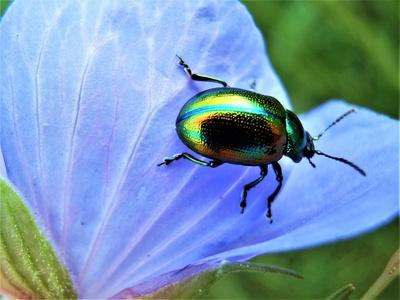 Grüner Sauerampferkäfer auf Storchschnabel