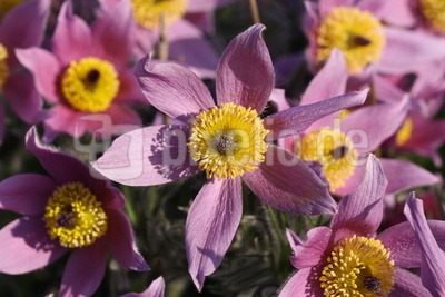 Blüten der Küchenschelle