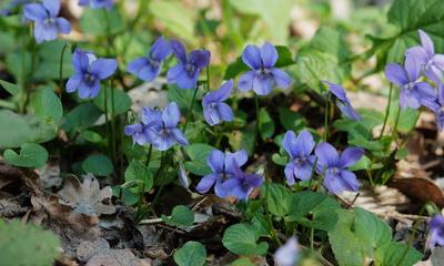veilchenblau am waldboden