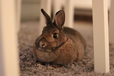Kaninchen im Wohnzimmer