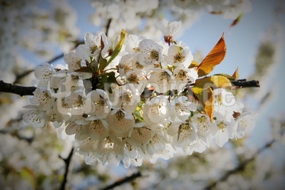 Blütenglocke
