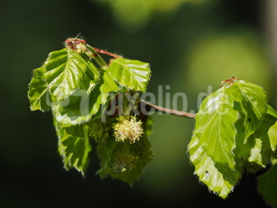 zartes frühlingsgrün   ( buche )