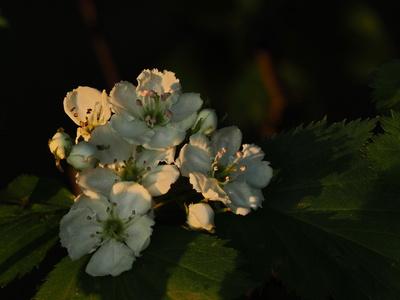 weißdorn blüten in der abendsonne