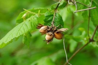 letztjährige Früchte