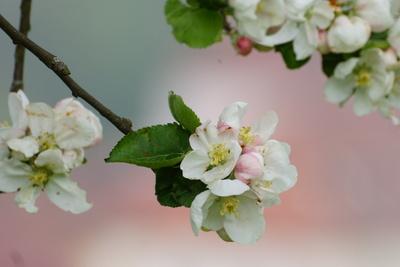 Apfelblütentraum_1