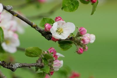 Apfelblütentraum_2