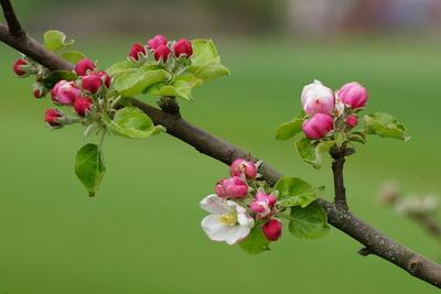 Apfelblütentraum_3