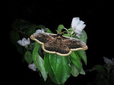 Großes Wiener Nachtpfauenauge (Saturnia pyri)