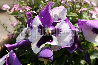Stiefmütterchenblüte