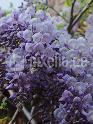 die farbe lila 2