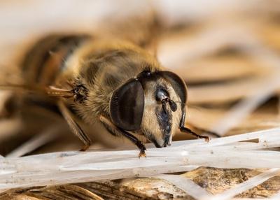 Portrait einer Mistbiene