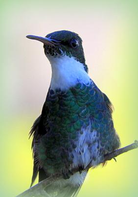 Kolibri aus Uruguay