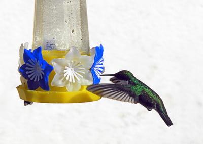 Kolibri in Südamerika