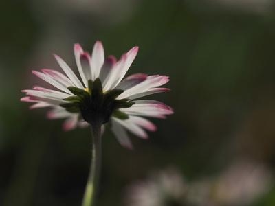 gänseblümchen weiß-rot