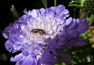Wildbiene auf Balkonien