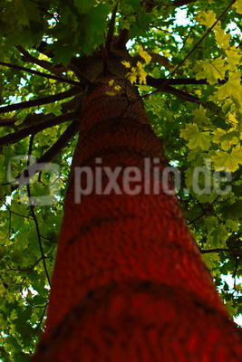 Baum mit roter Rinde