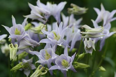 Blau-lila Akeleien