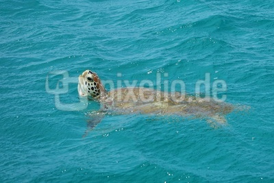 Wasserschildkröte bei Tobago Cays