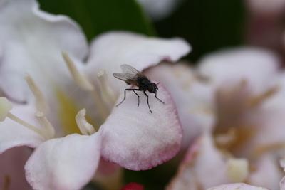 Fliege sitzt auf Blüte
