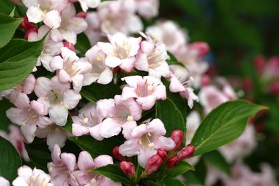 Blüten der Weigelie