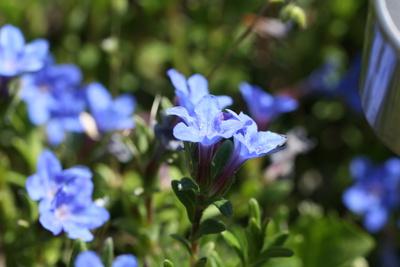 Enzian im Blumenbeet