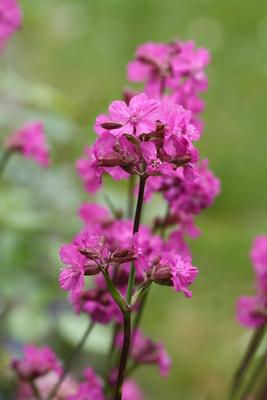 Pinke Blüte