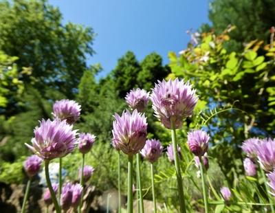 Frühe Bienenweide - blühender Schnittlauch