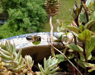 Fliegende Blattschneidebiene mit Nistmaterial