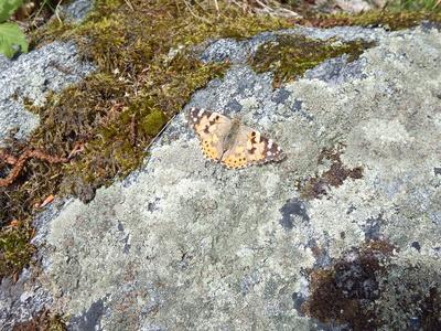 Schmetterling am Fels