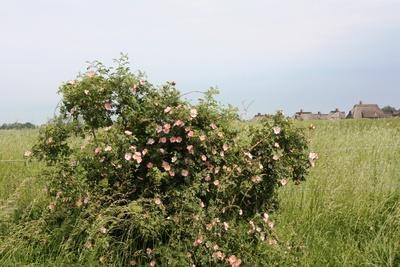 Blühender Hagebutten-Strauch