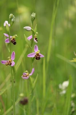 Bienen-Ragwurz...Orchidee
