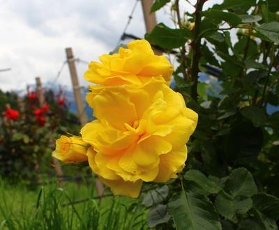 Geballte Rosen