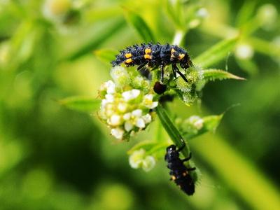 marienkäfer (larve)