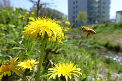 Biene peilt Löwenzahn an