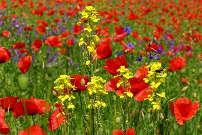 Farbtupfer im roten Blütenmeer