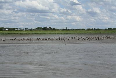 Vogelkolonie auf der Elbe
