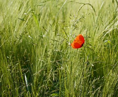 Klatschmohn im Gras