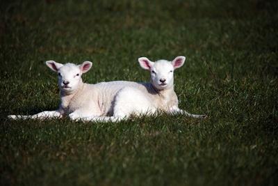 Wieder ein Lamm