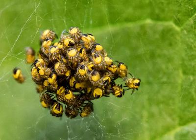 Spinnenknäuel