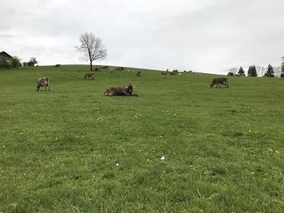 Rinderherde im Allgäu 1