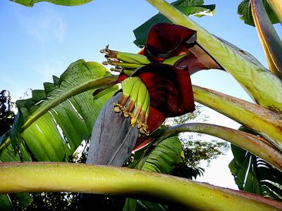 Bananen aus meinem Garten