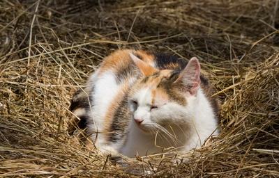 schläfrige Bauernkatze