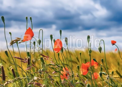 Poppies on field