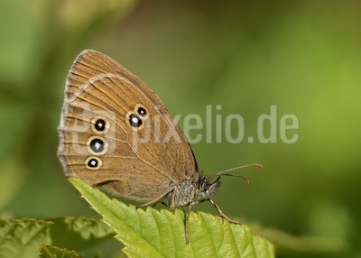 Brauner Waldvogel - 2